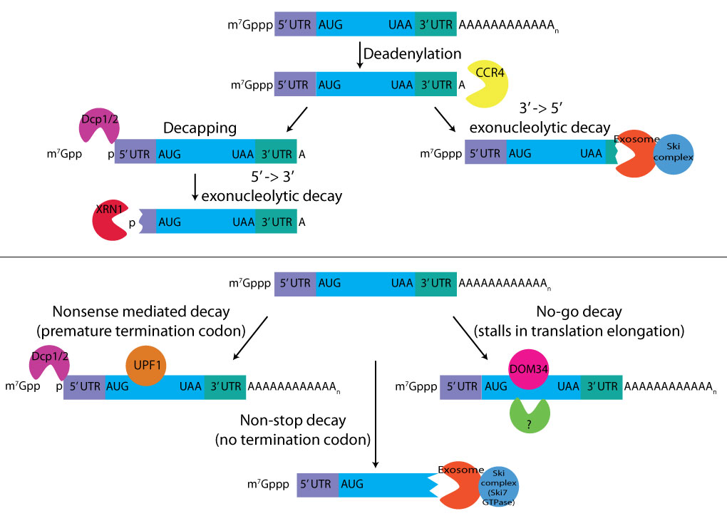 mRNA-decay-pathways